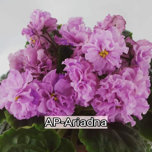 AP-Ariadna