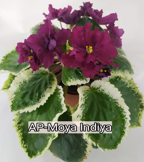 AP-Moya Indiya
