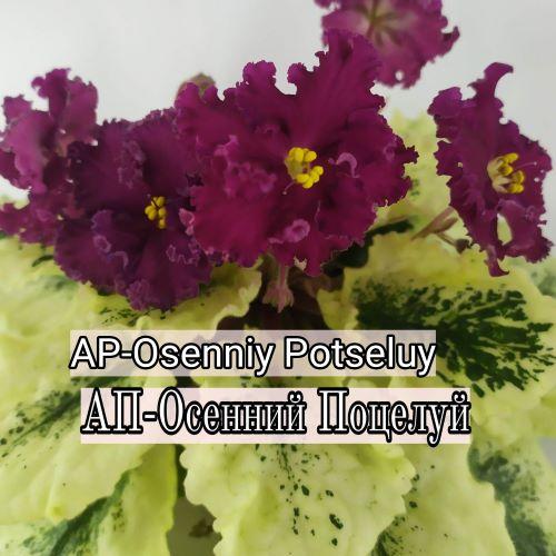 AP-Osenniy Potseluy