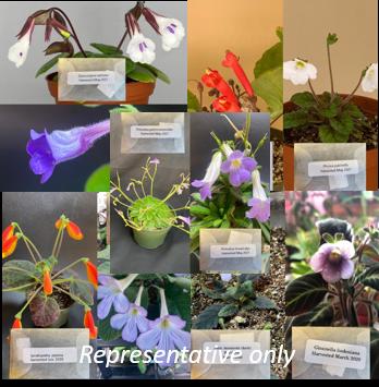 13 Packages of various Gesneriad seeds