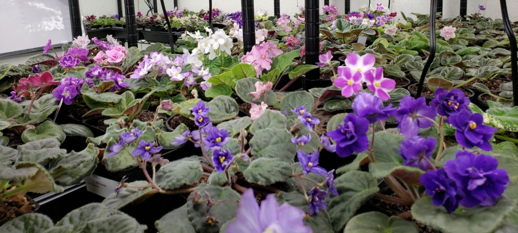 Violets at Petals and Leaves